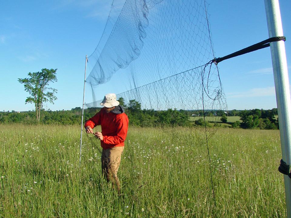 Extracting A Bobolink From A Mist Net. Photo: Zoé Lebrun-Southcott